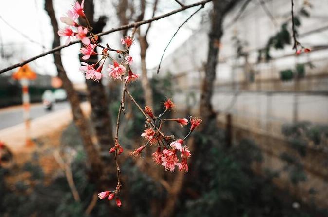 Da Lat in the early season of Mai anh dao blossom