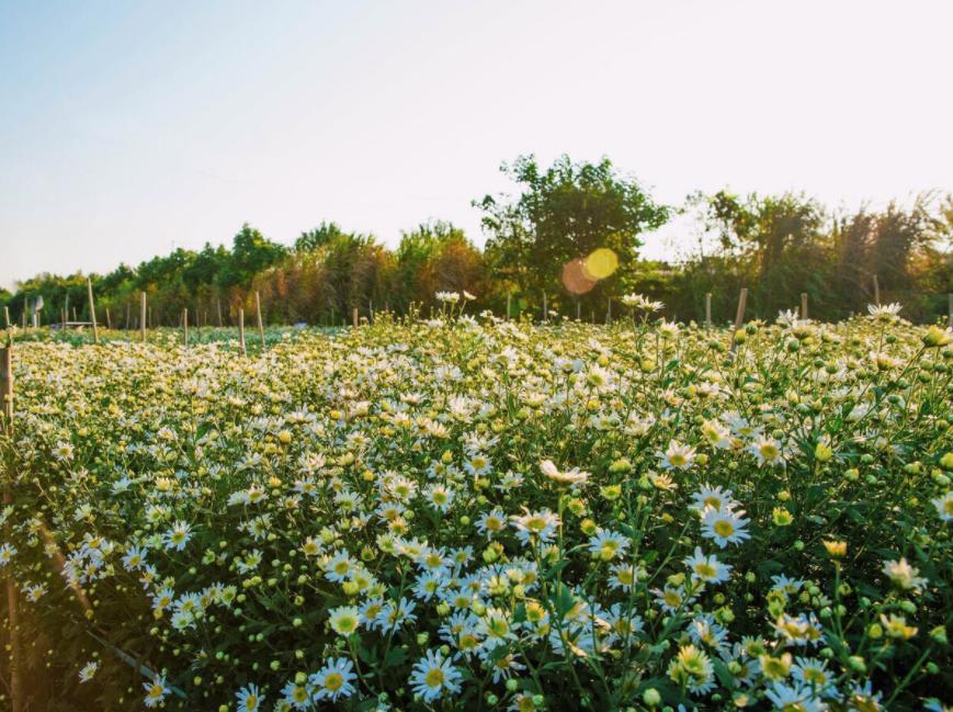 Daisy season brightens up Hanoi capital
