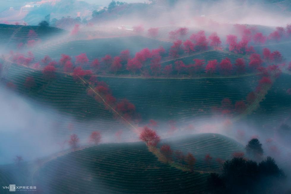 mai anh dao blossom season comes early on the tea hills of sa pa