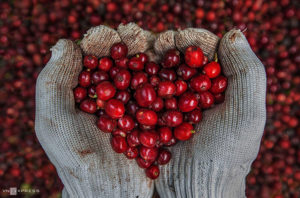coffee harvesting season of kon tum vietnam central highlands