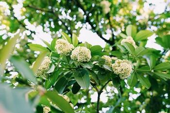 Hanoi's Devil's Tree Flower