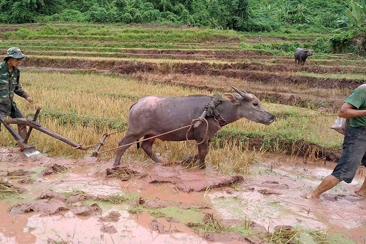 3426 water buffalo is the national animal of vietnam