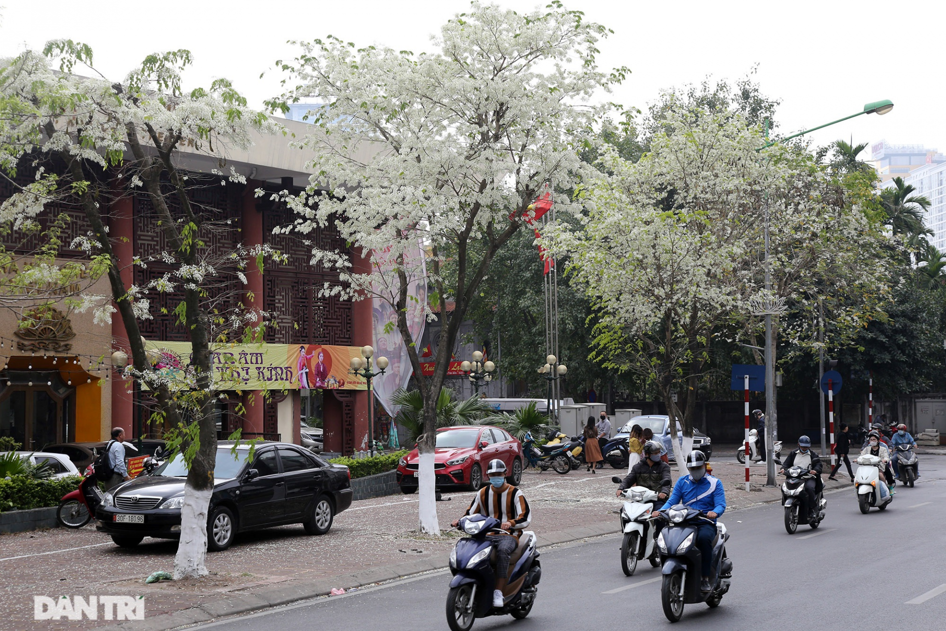 the stunning and dreamy beauty of sua flowers blooming in hanoi