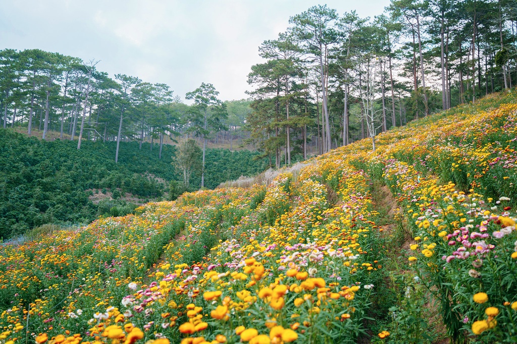 discovering the dreamy strawflower hill in city of flowers dalat
