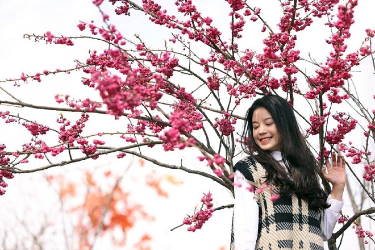 The dreamy beauty of Japanese cherry blossoms blooming in Sapa