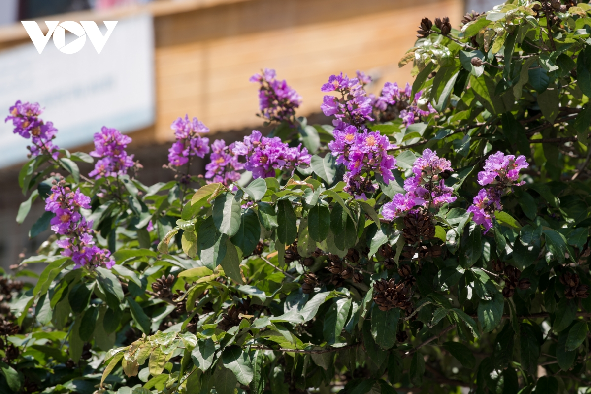The purple flowers have been a symbol of the city, and bring up nostalgic feelings whenever you look at them.  (Photo: VOV)