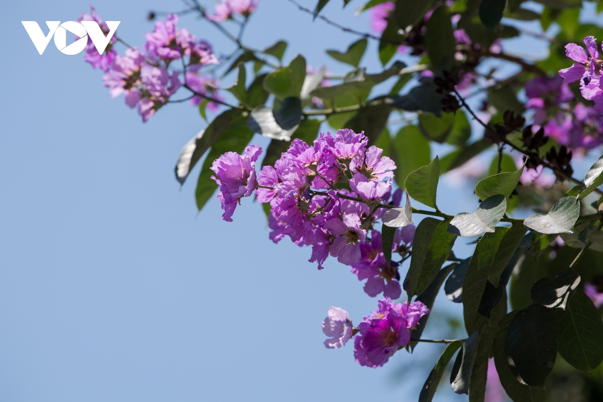 The crape-myrtle flowers were originated in Asia, but have appeared in many countries in Southeast Asia, including big cities in Vietnam.  (Photo: VOV)