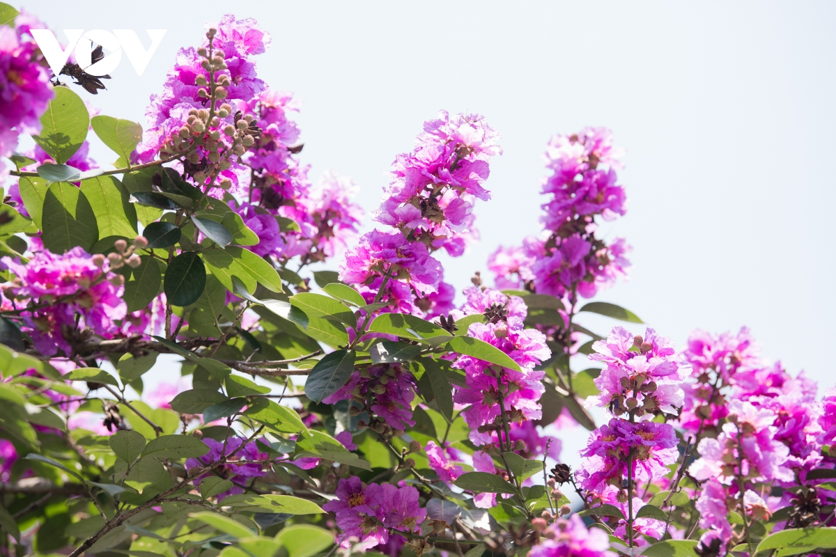 Crape-myrtle flowers often grow into clusters with a length of 20-30cm. Each flower has six thin and light petals. (Photo: VOV)