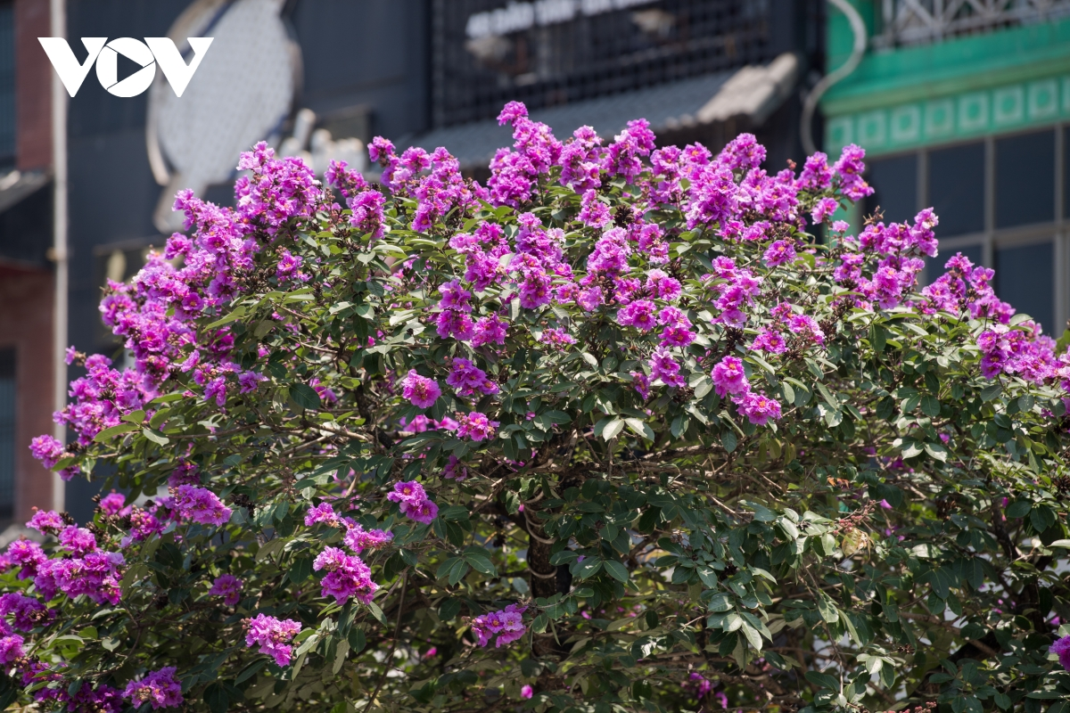 The crape-myrtle flowers bring back the old childhood memories and student years, which made people emotional.  (Photo: VOV)