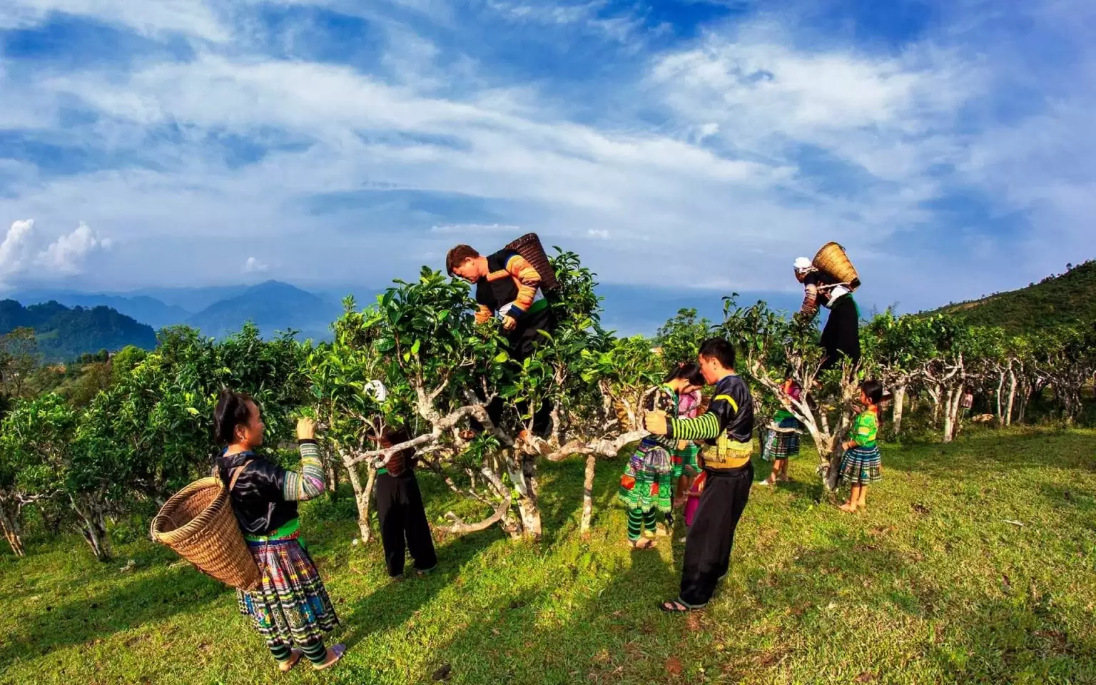 Suoi Giang gets its fame for growing over hundred years old tea trees, which provide the famous Shan Tuyet tea. (Photo: Vietnamtravel)