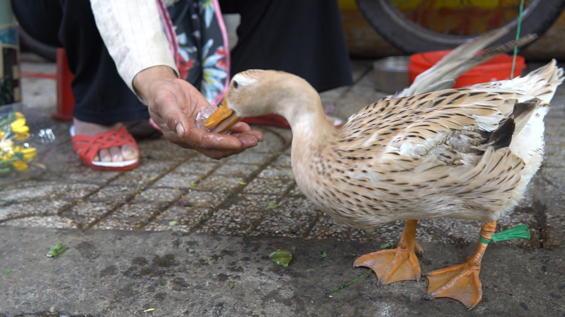 The ducks love ice cubes (Photo: Thanh Nien)