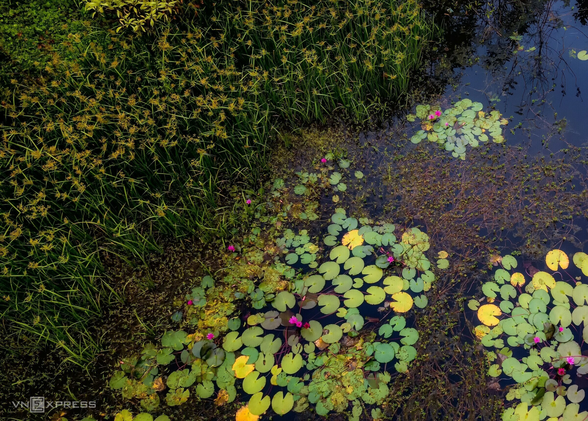 Around the water lily pond are reeds that add to its beauty. (Photo: VnExpress)