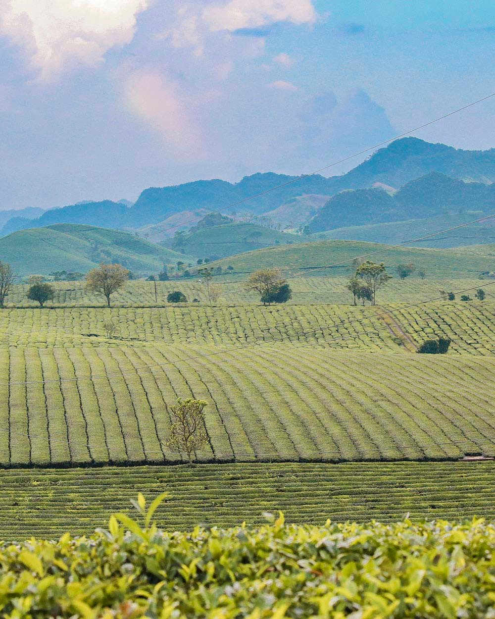 Moc Chau Tea Plantation. Photo: Duc Giang