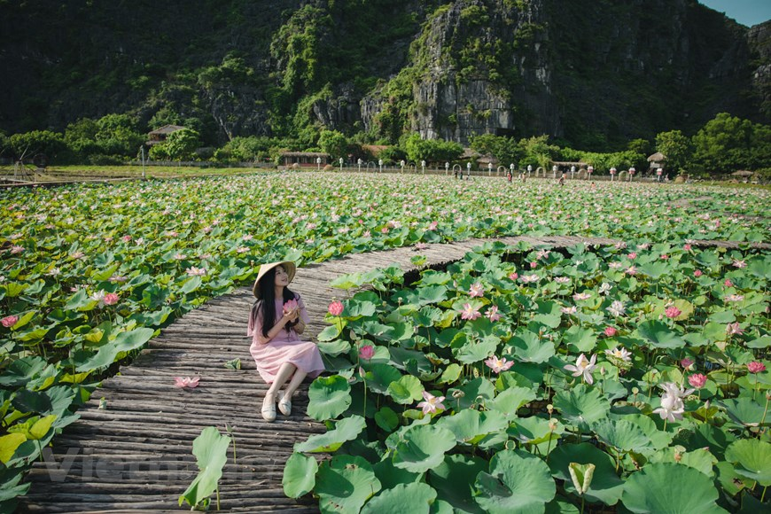 Lotus season in Mua Cave only happens once a year, and lasts till autumn so that tourists will have plenty of time to visit this place. Photo: Vietnam+