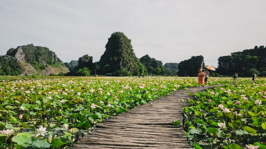 Lotus in Mua Cave was originated from Japan, which lasts much longer and has a brilliant and mesmerizing shade of pink colour.  Photo: Vietnam+