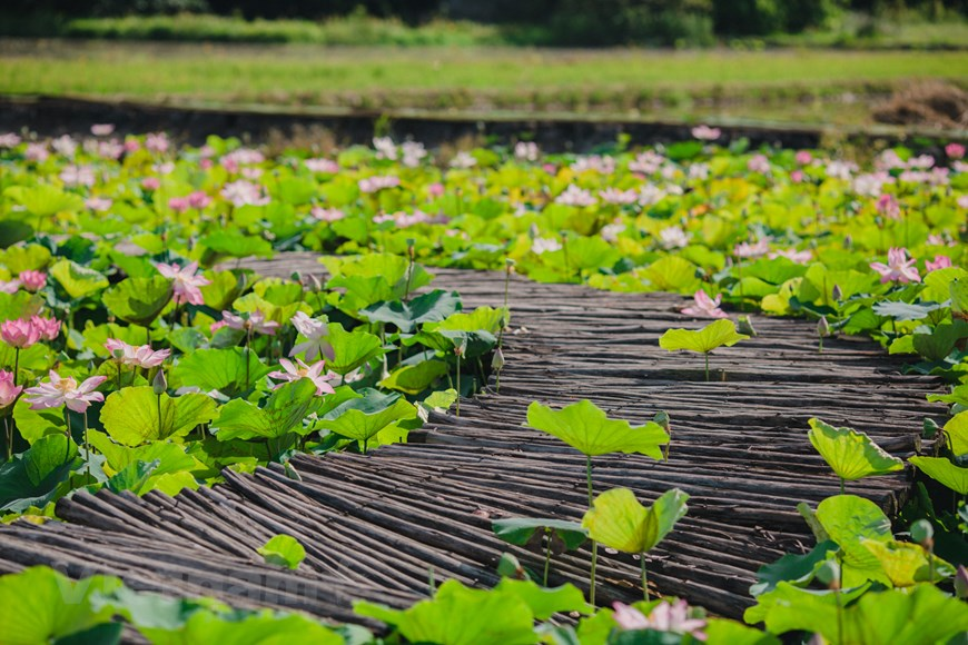 According to local people, the lotus flowers are the most beautiful in June and July, and can bloom till the end of the year.  The perfect time to go taking pictures and seeing the flowers is in the early morning. Fresh air and peacefulness bring a comforting feeling and a sense of content to the tourists. Photo: Vietnam+