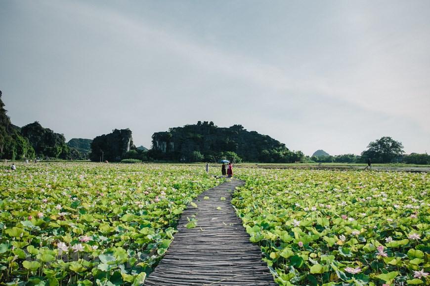 Walking in Green Tranquility: Lotus Pond at Ninh Binh's Mua Cave