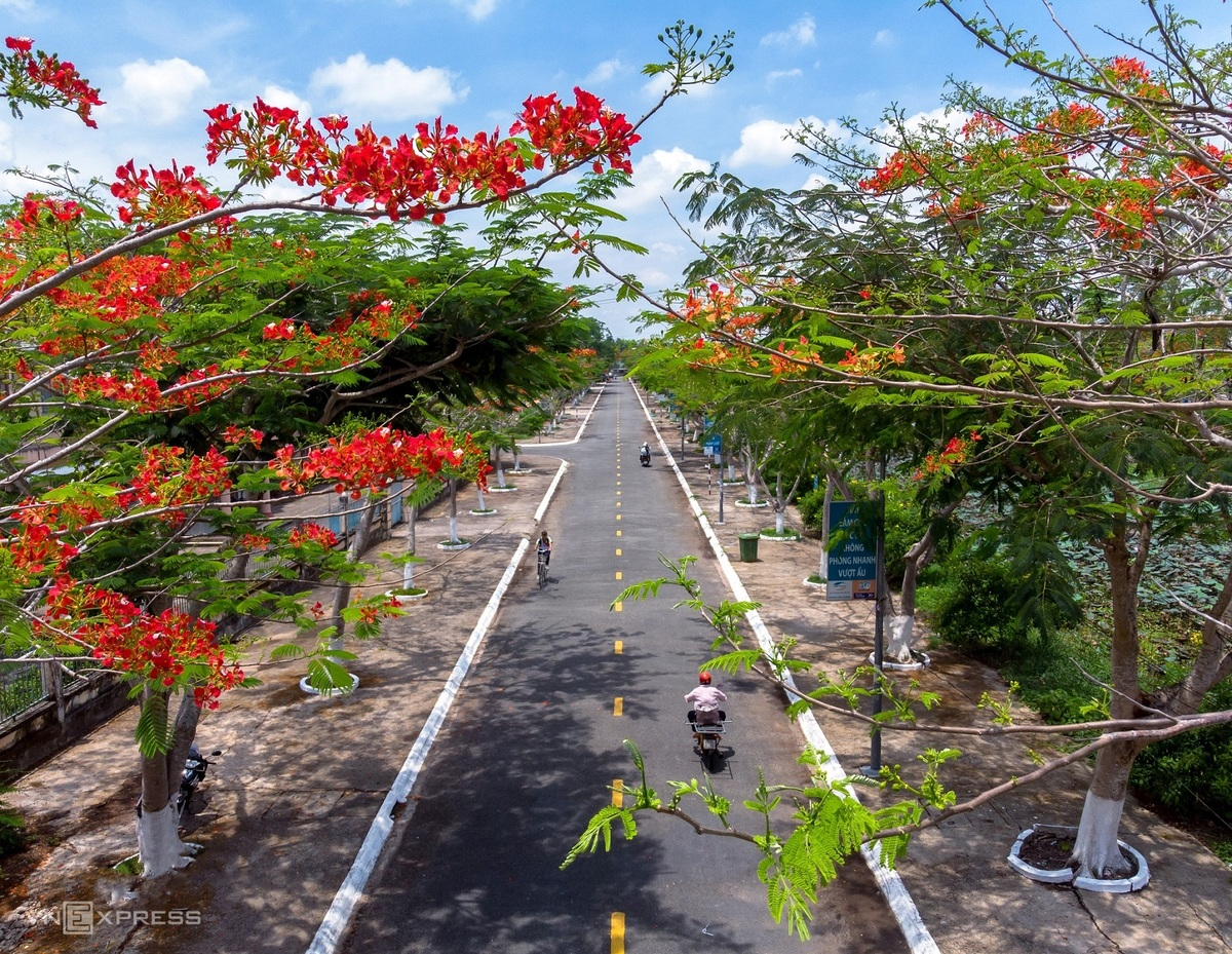 Hau Giang is located about 60km from Soc Trang. The young photographer arrived here just in time to capture the phoenix flowers blooming in two side of the roads in Vi Thuy District.  Photo: VnExpress