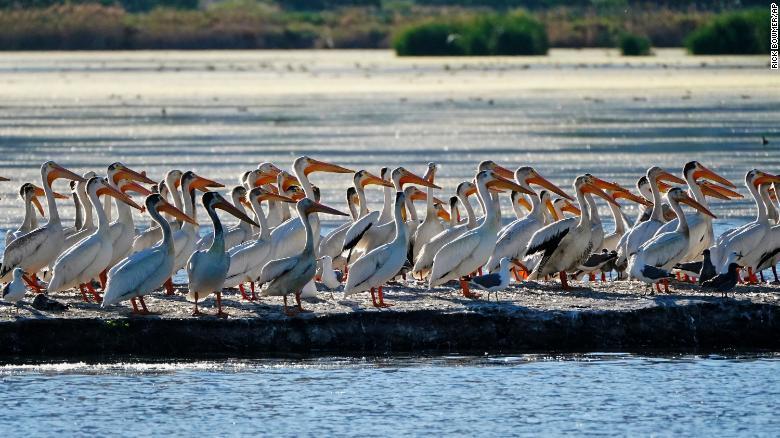 Pelicans gather in June on an island on Farmington Bay near the Great Salt Lake. Photo: CNN