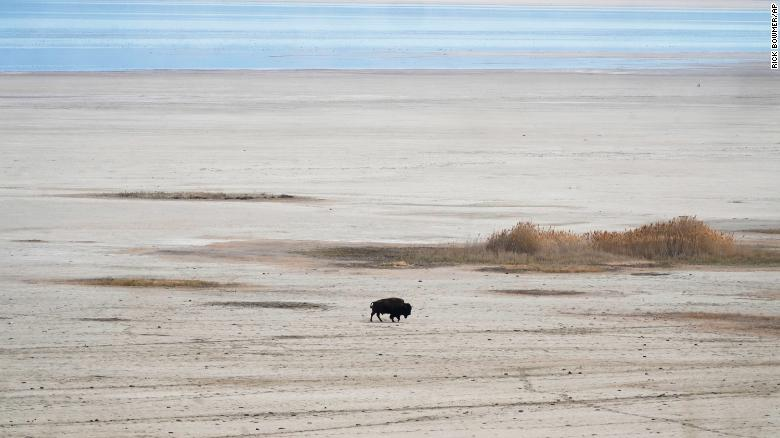 A bison walks in April along the receding edge of the Great Salt Lake on its way to a watering hole at Antelope Island, Utah. Photo: CNN