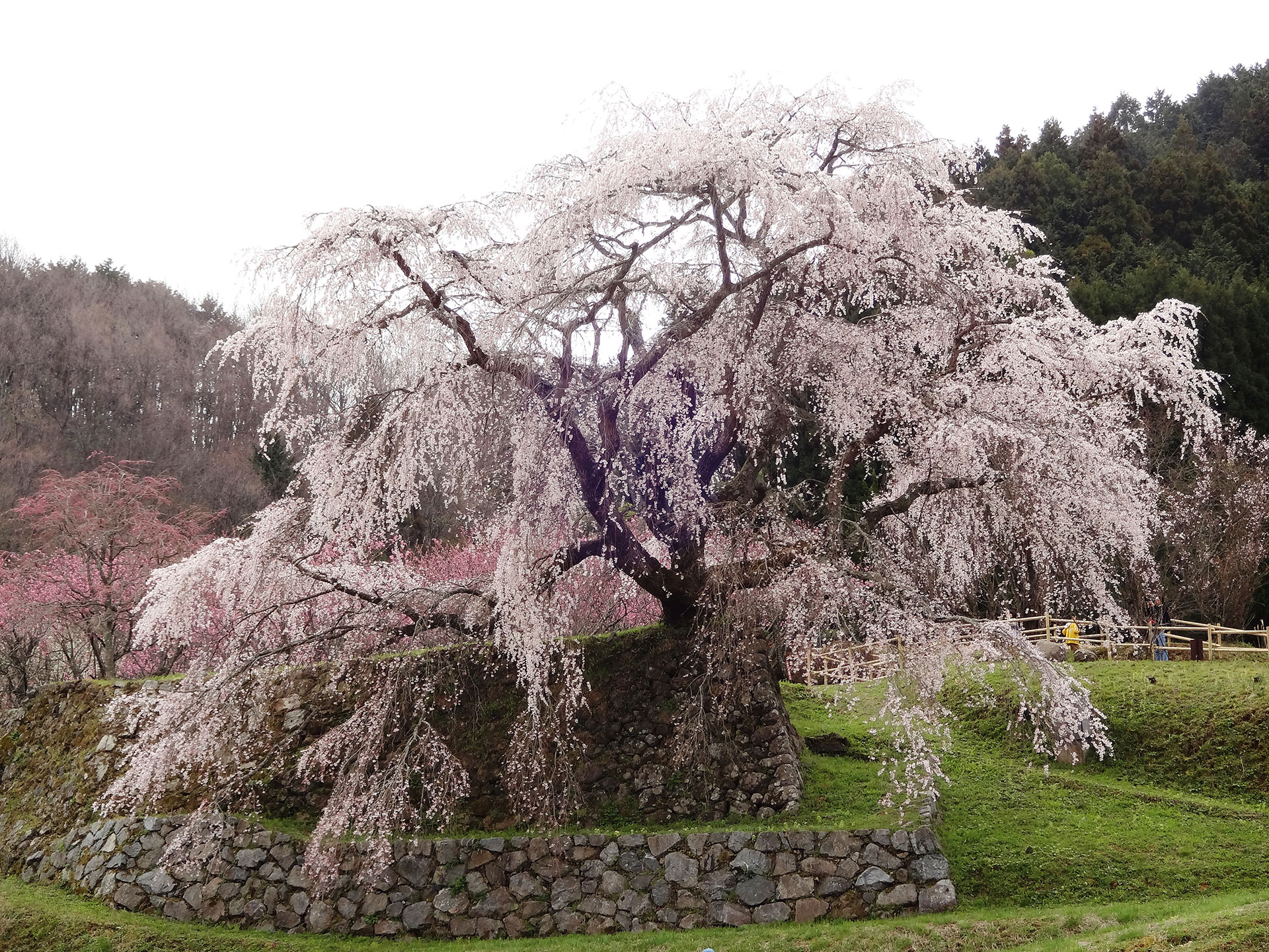 Japan: 300-year-old Weeping Cherry Blossom Tree With Acient Forklore