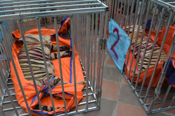 The tigers were tranquilized and transported by trucks to an ecological area in Dien Chau (Nghe An) to be taken care of.