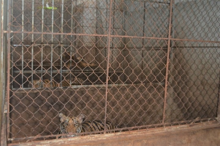 Indochinese tigers are one of the dangered animals in Asia. Photo: VTC News
