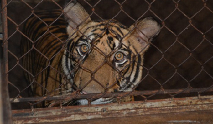 Seventeen Indochinese Tigers Kept In The Basements Of Two Vietnamese Families Rescued