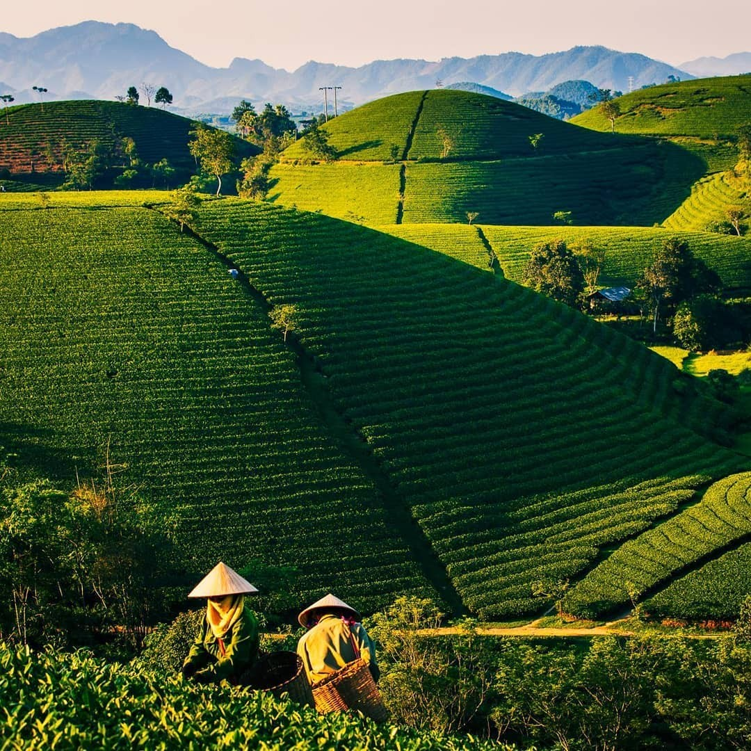 Top 10 Largest Tea Producing Countries in The World