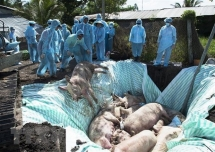 vietnam us jointly study vaccine against african swine fever