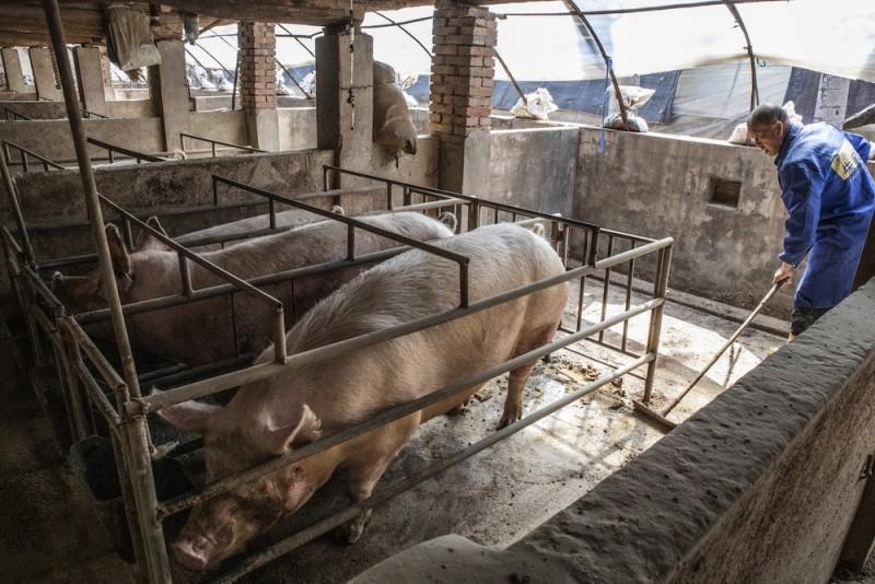 African swine fever outbreak kills 3,000 pigs in Indonesia