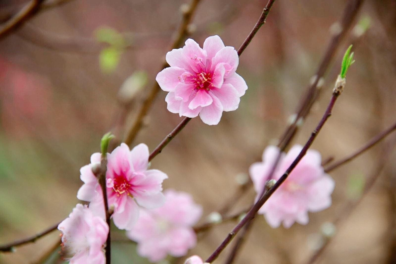 Peach blossoms, flower of vietnamese lunar new year
