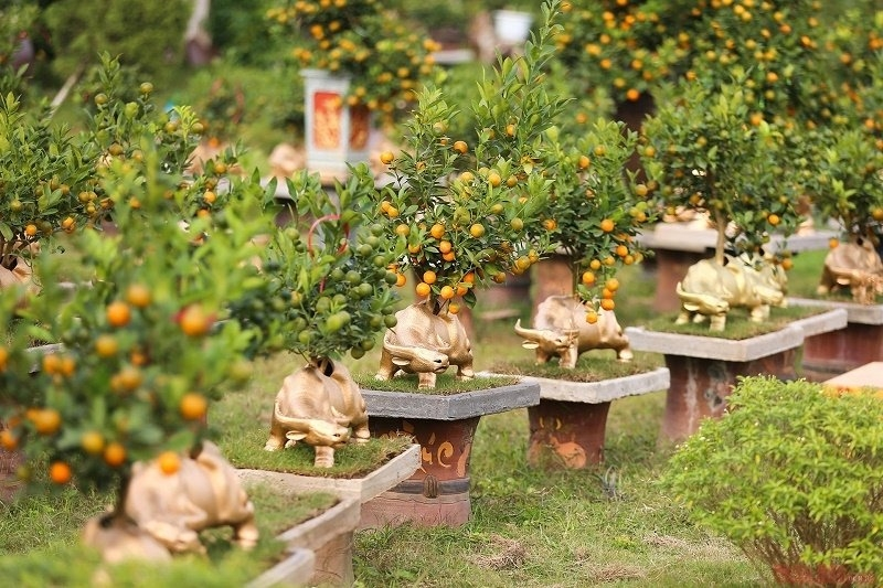 Kumquat tree   plant for Tet and its  interesting facts