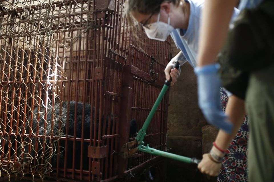no more bars for two asiatic black bears in ha nam