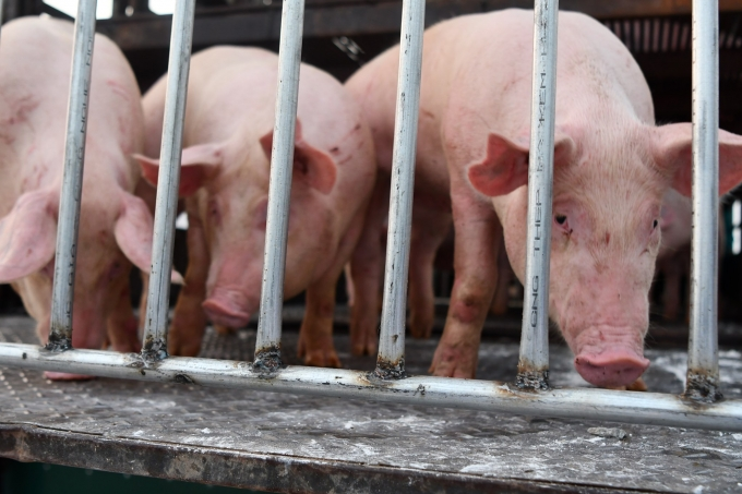 vietnam to import live pigs to cut live hog prices in domestic market