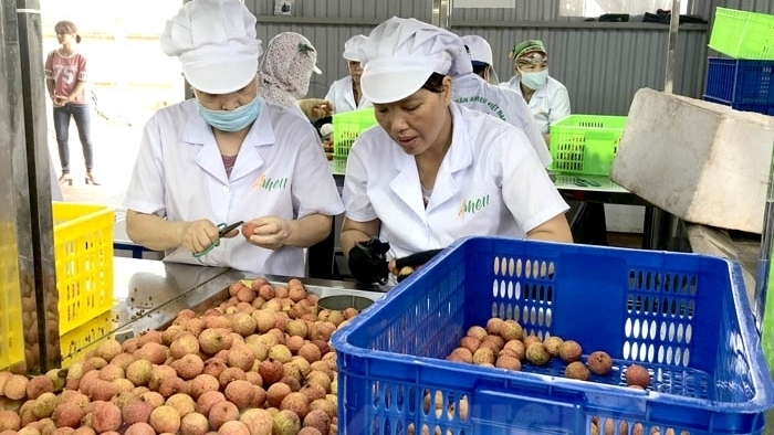 E-commerce platforms bring new opportunities for Hai Duong lychees sellers