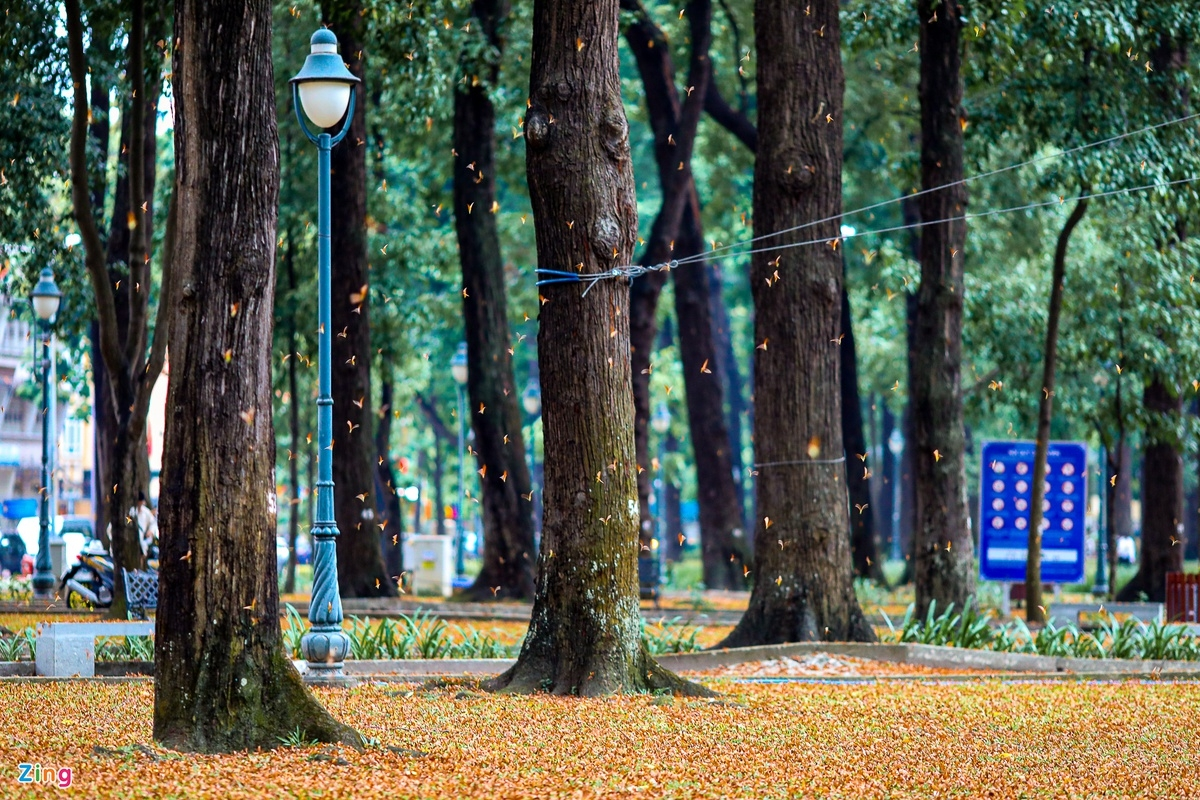 Winged seeds' rain in Ho Chi Minh City