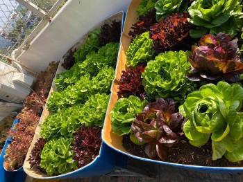 Fun Lockdown Activities: Easy Vegetables to Grow Indoors