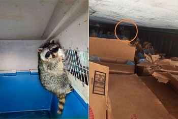 racoon spends over 30 days in shipping container from us to vietnam
