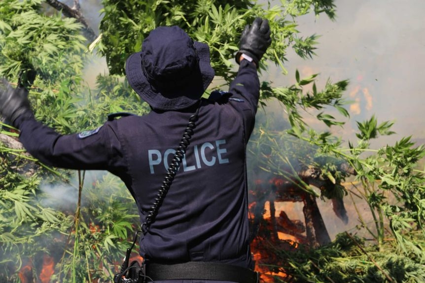 Australian police seize 13,300 cannabis plants worth estimated USD 40 mil