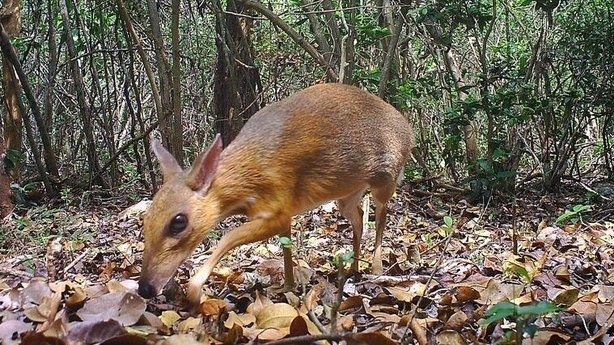 mouse deer species not seen for nearly 30 years found alive in vietnam