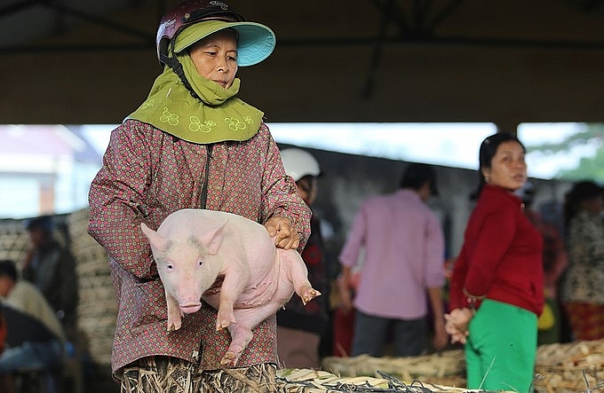Unique Job in Vietnam:  Hugging pigs to bring the bacon
