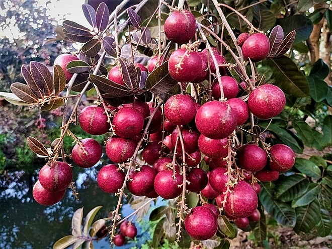 Purple longan: the unique fruit helping farmers earn a fortune.
