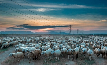 nomadic beauty of a sheep farm in ninh thuan
