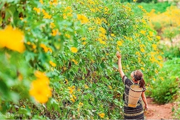 the stunning yellow carpet of wild sunflowers in the central highlands