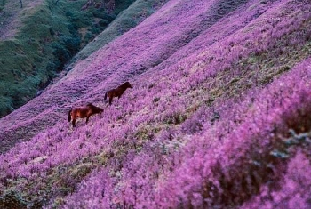 the endless purple field on the top of ta chi nhu mountain in the northwest of vietnam