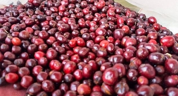 the first 296 tons of coffee exported to eu after the free trade agreement