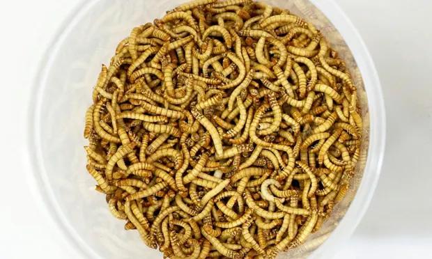 3846-yellow-mealworm