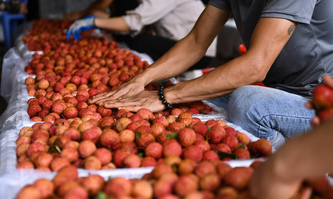 Farmers examine lychees in Luc Ngan District, Bac Giang Province on June 10, 2020. Photo by VnExpress/Giang Huy.