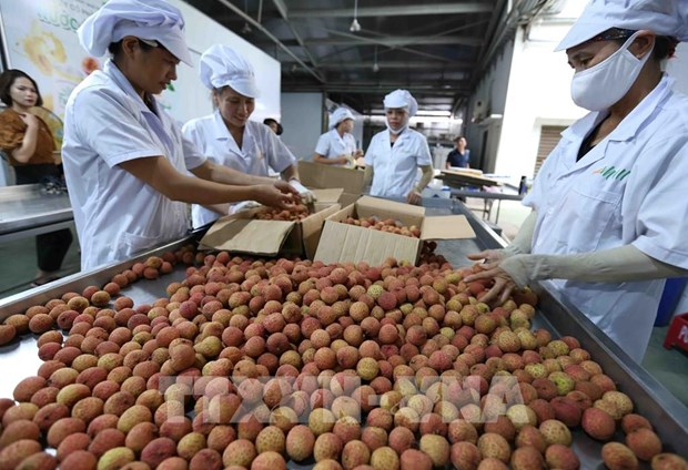 Processing fresh lychees for export (Photo: VNA)